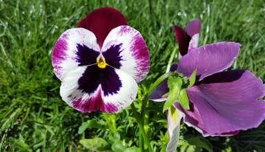 W walce o piękną cerę fiołek trójbarwny